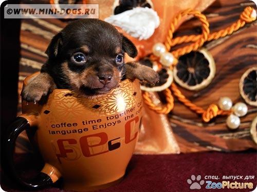 Весёлый коричнево-подпалый мини русский той Вилли в кружке. Фото ©2011 Mini-Dogs Артур Лукьянов.