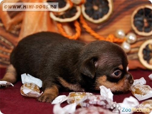Маленький коричнево-подпалый той терьер Вилли с конфетами Бон-Пари. Фото ©2011 Mini-Dogs Артур Лукьянов.