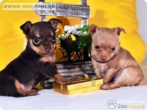 Тойчики шоу класса делят блестящий золотой подарок на двоих. Фото ©2011 Mini-Dogs Артур Лукьянов.