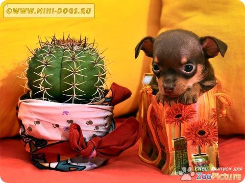 Русский той Вилли залез в подарочную упаковку - реально экзотический подарочек :). Фото ©2011 Mini-Dogs Артур Лукьянов.
