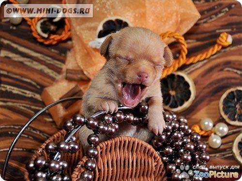 Неожиданный зевок маленькой рыжей тоечки Ви-Ви с трибуны! :). Фото ©2011 Mini-Dogs Артур Лукьянов.