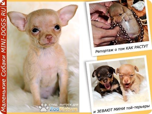 Весёлый Фото-репортаж клуба маленьких собачек о том как растут русские тои. Фото ©2011 Mini-Dogs Фотограф Артур Лукьянов.