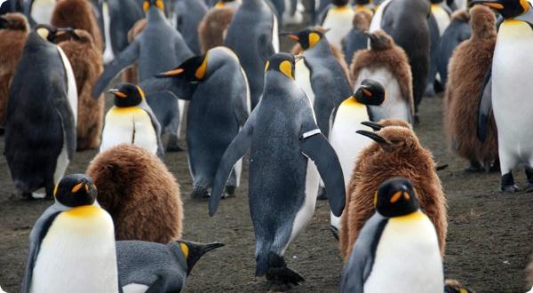 Птенцы пингвинов умеют снижать температуру тела