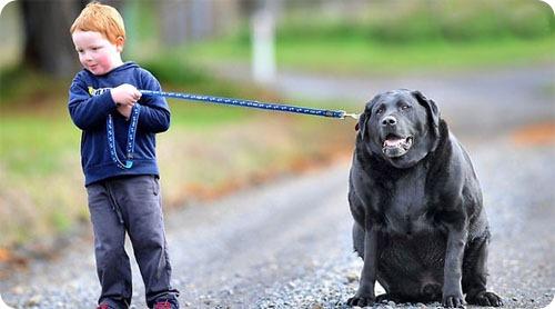 Сэмпсон – самая толстая собака Австралии