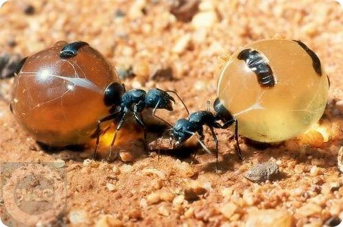 http://www.zoopicture.ru/assets/2011/08/honeypot-ants.jpg