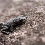 Галечная жаба