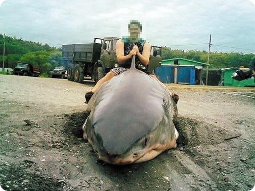 Пойманная акула для Путина оказалась уткой с Сахалина