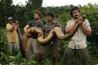 В лесах Гайаны поймана гигантская анаконда