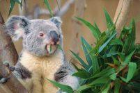 Учёные раскрыли тайну громкого голоса коалы