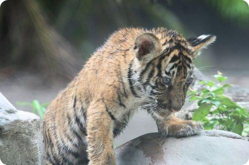 Тигрята из Палм Бич
