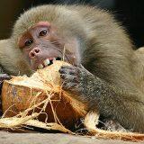 Бабуины