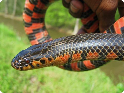 Роговая или иловая змея