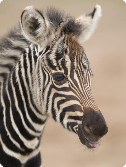 Зебра из Монарто