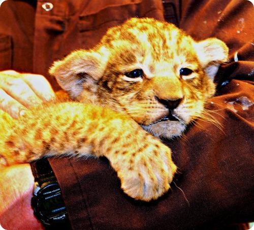 Африканские львята из Милуоки