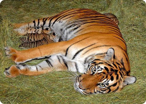 Суматранские тигры из Лос-Анджелеса