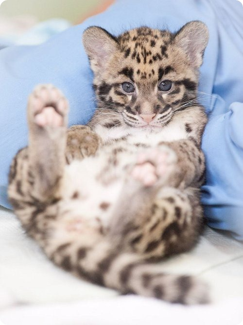 Дымчатые леопарды из Такомы