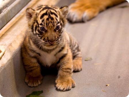 Суматранские тигры из Атланты