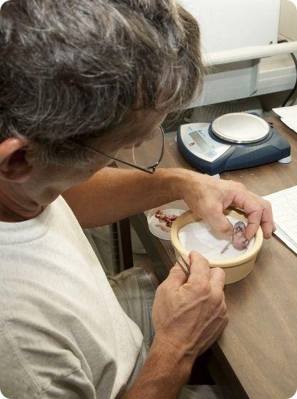 Микронезийская альциона из Вирджинии