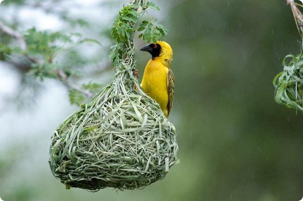 Ткачи повышают  мастерство с каждым свитым гнездом