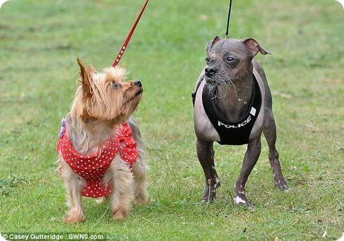 Одежда для самой уродливой собаки Великобритании
