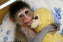 Маленький мандрил и его плюшевый друг