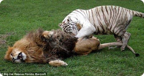 Лев и тигр – друзья навсегда