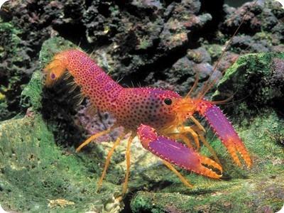 Рифовый омар Дебелиуса