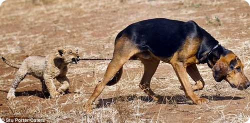 Львенок и собака – верные друзья