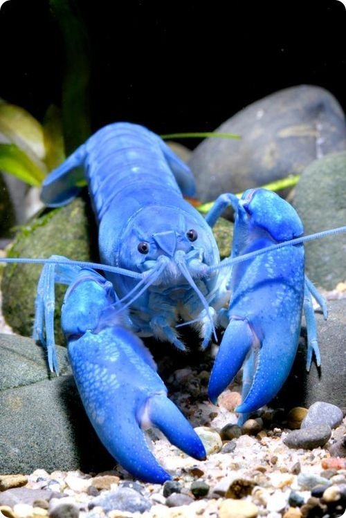 Недавно открытые виды: Абрикосовый рак