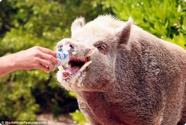 Бейб – единственная в мире пляжная свинка!