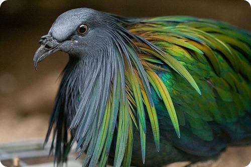 Гривистый голубь