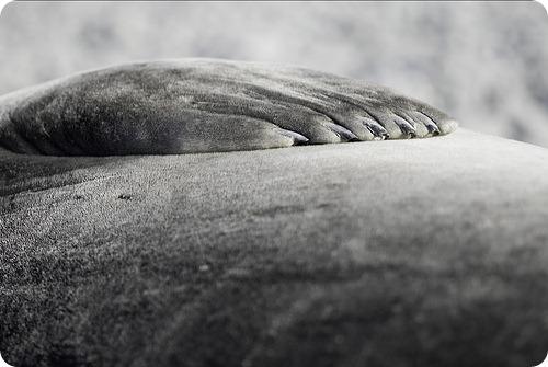 Лапа морского слона