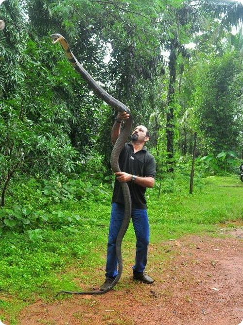 Королевская кобра или гамадриад