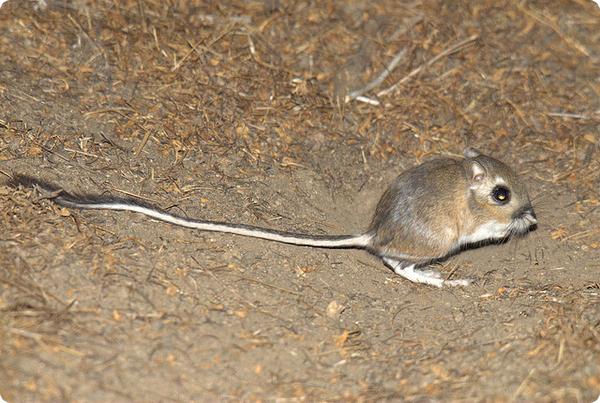 Кенгуровые крысы привязаны к соседям-конкурентам