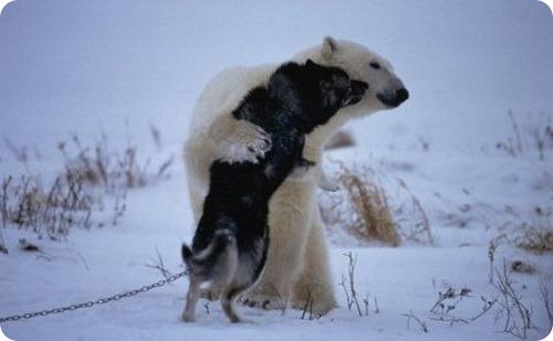 История дружбы лайки и белого медведя
