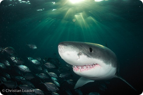Белые акулы устроили у побережья Приморья роддом