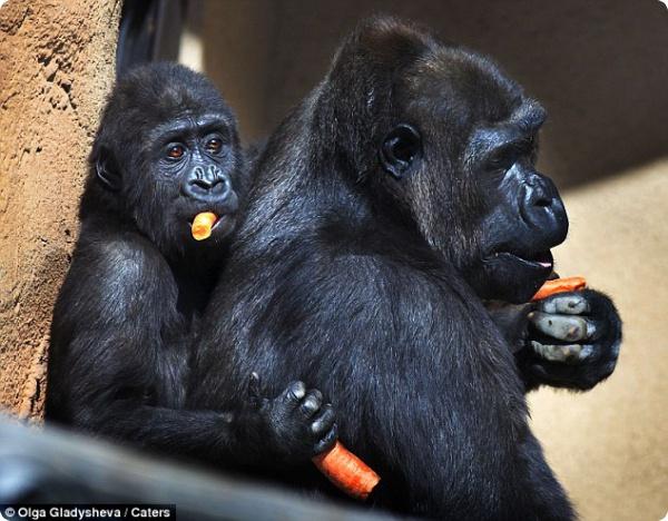 Морковь для гориллы