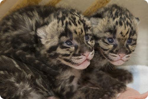 Дымчатые леопарды