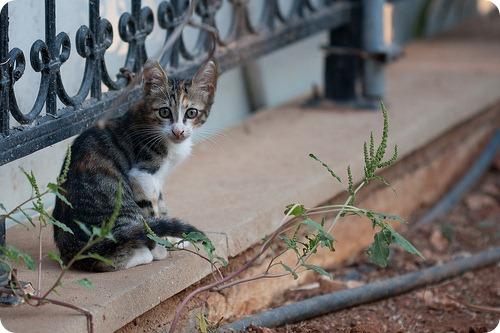 Кошки Кипра
