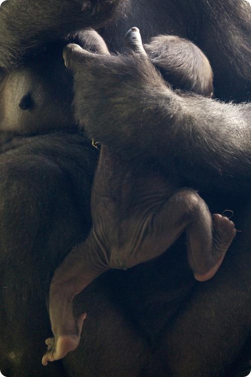 Западная равнинная горилла из Дублина