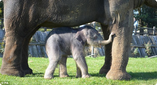 Слониха родила после 2-ух лет беременности!