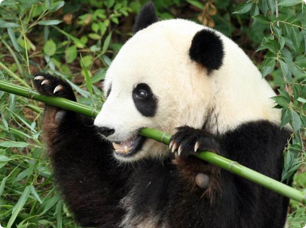 Как панды переваривают бамбук