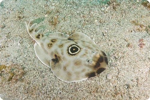 Панамский диплобатис