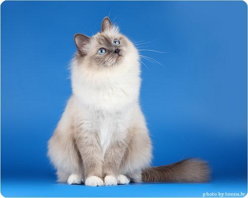 Бирманская кошка или священная бирма