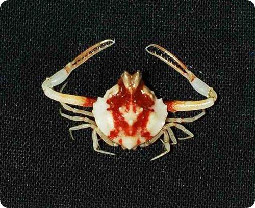 Недавно открытые виды: Глубоководные крабы