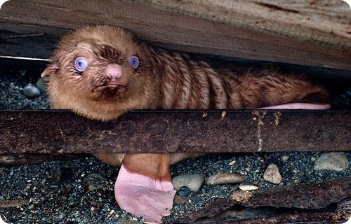 Как плохо быть рыжим, даже если ты – тюлень