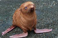 Рыжий тюлень