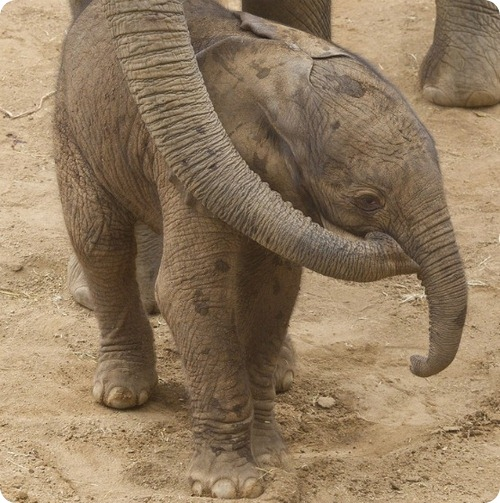 Африканский слон из Сан-Диего