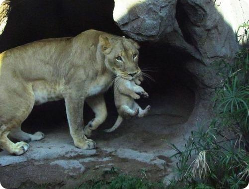 Дебют африканских львят из Аризоны