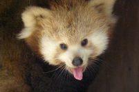 Малая панда из Мичигана